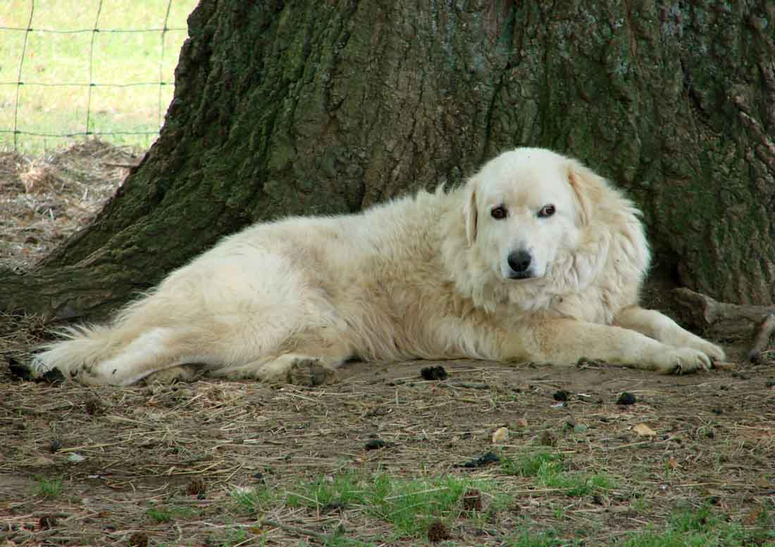 maremma puppies maremma dogs for sale rural ramblings 4292