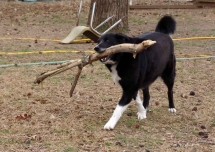 One of the FARM COLLIES!