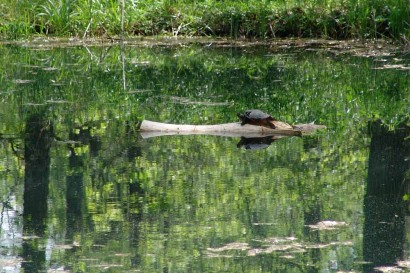 Turtle sunning on log in pond.