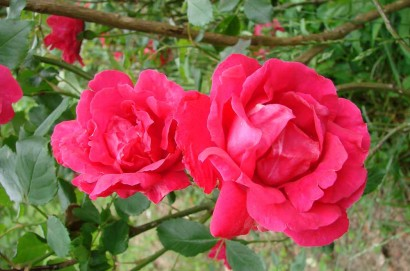Old-Fashioned Red Rose