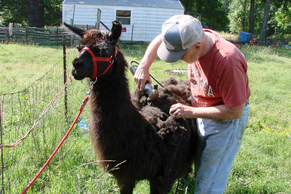 How old is a mature llama