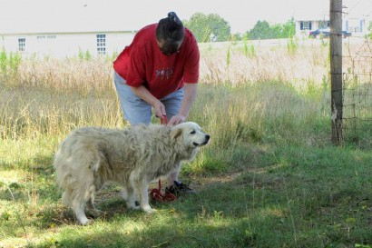Catching Neffie, our Maremma.