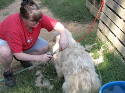 Starting on Neffie the Maremma's haircut.