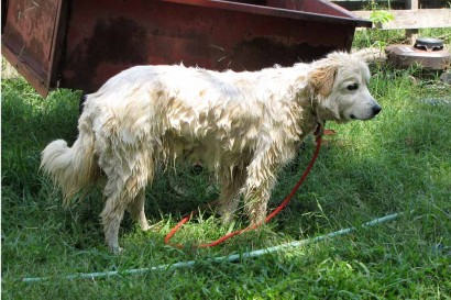 One dripping wet Maremma.