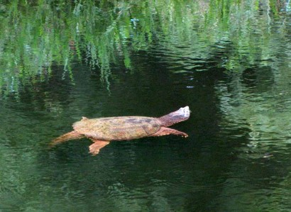 Turtle swimming in pond.