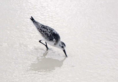 Sanderling (Calidris alba) In Winter Plumage