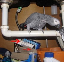 African Grey Parrot under sink with chewed box tops.