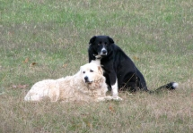 Maremma Neffie and American Working Farmcollie Toby