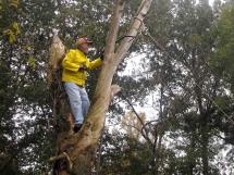Lumberjack on the farm sawing tree limb.