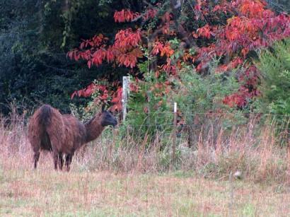 Male llama, Samson, grazing.