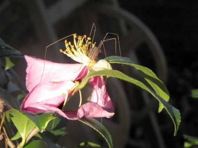 Grandaddy Long Legs on Camellia bloom.