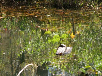Small turtle on log in pond.