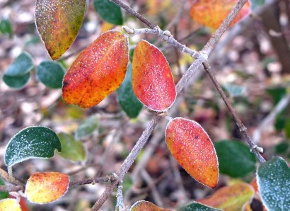 Frosty Fall Leaves on Arrowwood Viburnum