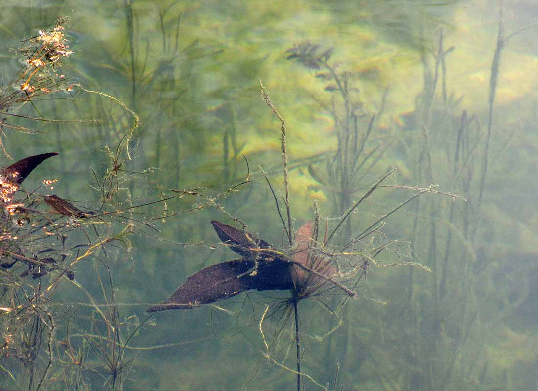 Underwater pond plants and fallen leaves
