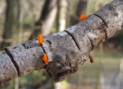 Orange fungus on tree limb.