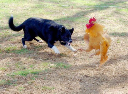 Dog and rooster fighting.