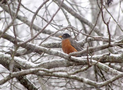 Robin on snowy branch.