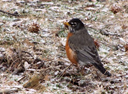 Robin in winter.