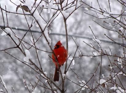 Cardinal in snow storm.