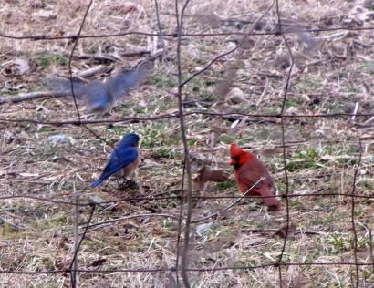 Pair of bluebirds with cardinal.
