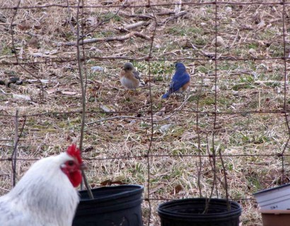 Rooster and bluebirds.