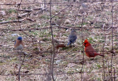 Pair of bluebirds and male cardinal.