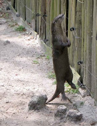 Jumping otter?