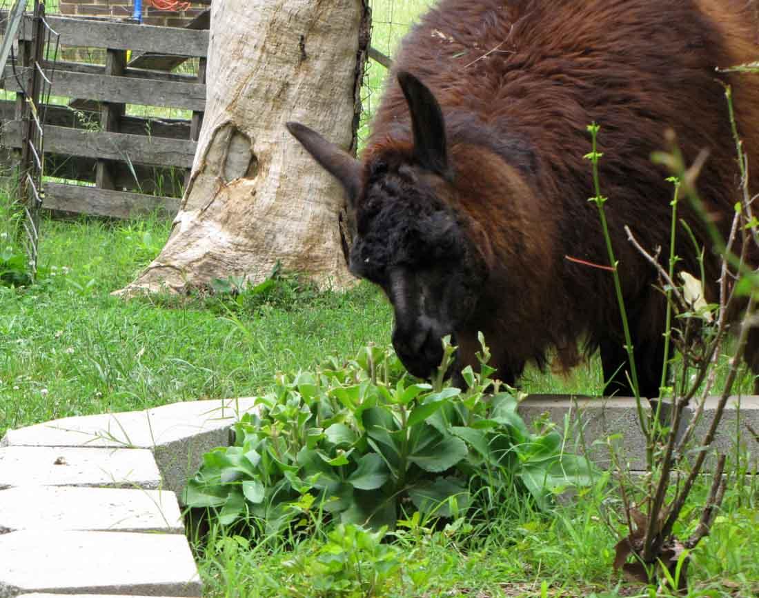 Funny llamas like sedum salad