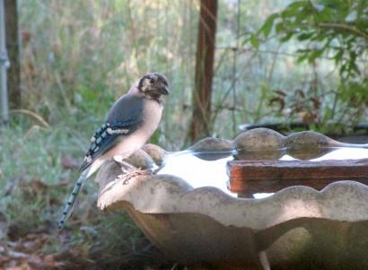 Blue Jay at bird bath