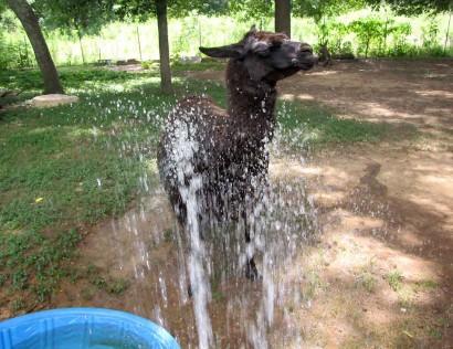 wet llama