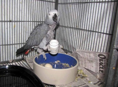 photo of African grey parrot