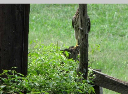 hawk half hidden behind fence post