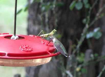 Ruby throated hummingbird and praying mantis