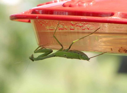 praying mantis bug