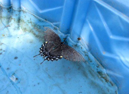 photo of black butterfly floating in pool water