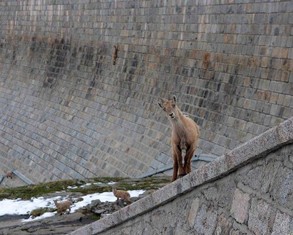 picture of young alpine ibex on dam