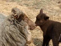 picture of sheep and lamb