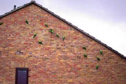 picture of ring-necked parakeets on brick wall