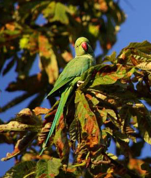 picture of rose-ringed parakeet