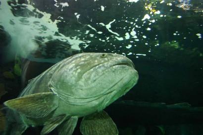 picture of big fish, a goliath grouper