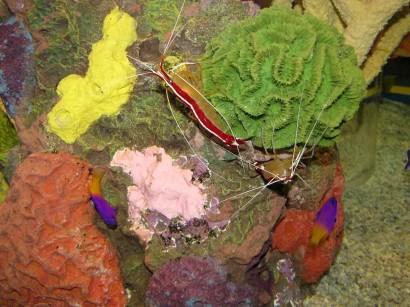picture of Scarlet Skunk Cleaner Shrimp