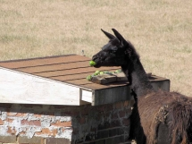 picture of llama eating maypops