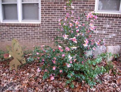picture of camellia winter's star shrub
