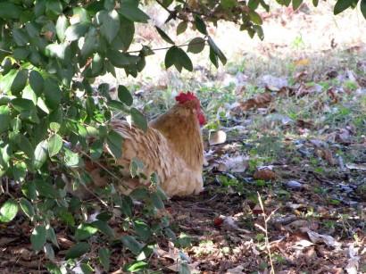 photo of chicken under bush