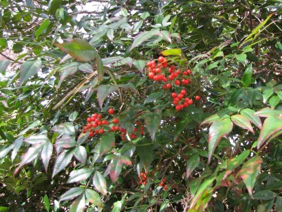 picture of red berries on holly