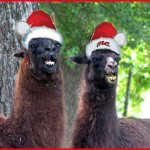 picture of two llamas