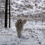 picture of maremma sheepdog in snow