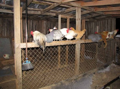 picture of chickens roosting in shed