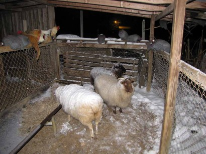 picture of sheep, chickens and guineas at night