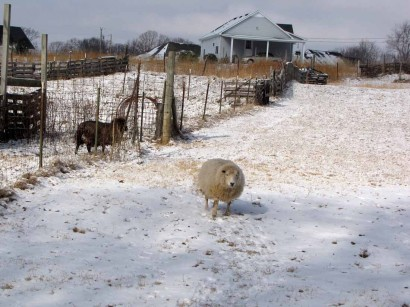 picture of ewe sheep in snow